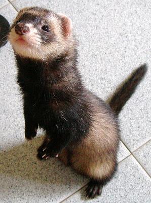 Catch that ferret