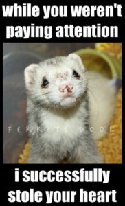 All About Ferrets Absolutely Everything