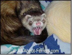 What Do Ferrets Eat