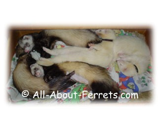choice of ferrets